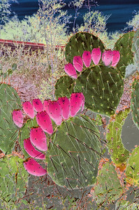 A reversal of light and shadow turns this prickly pear and cactus image into an electric one.