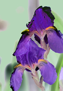 A reversal of light and shadow renders these purple iris flowers even more exquisite