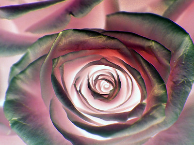 A reversal of light and shadow makes this pink rose appear lit within