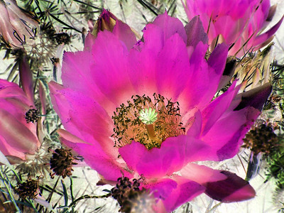 A reversal of light and shadow makes this hedgehog cactus flower cactus flower more colorful and dynamic