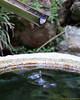 Drip!<br /> <br /> Taken at Hakone Gardens, Saratoga, CA