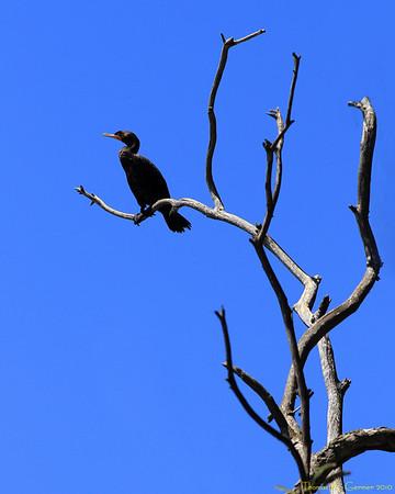 A cormorant in Santa Cruz, CA.