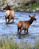 Elk in Gardner River, Yellowstone National Park<br /> <br /> Daily Photo: 9/20/2011