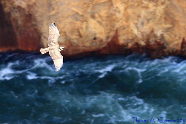 Osprey above the Yellowstone River.<br /> <br /> Daily Photo: 9/14/2011