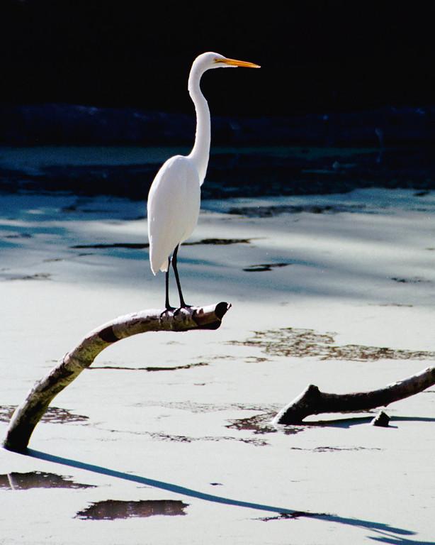 Great Egret, Baton Rouge Zoo, Baton Rouge, LA
