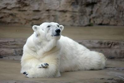 Polar Bear, St. Louis Zoo, St. Louis, MO