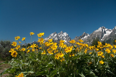 Yellowstone Vacation - Grand Teton National Park - Jackson Lake Area - Flowers and Grand Tetons