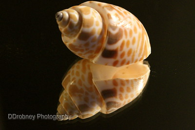 One of the beautiful shells from a long ago trip to Sanibel Island for New Year's Eve.
