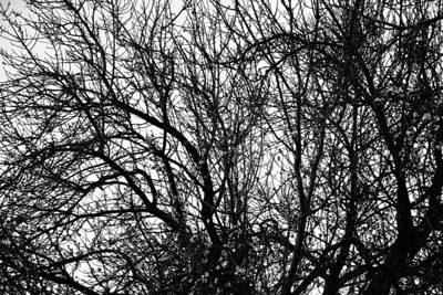 _MG_1388 - winter trees workingbw