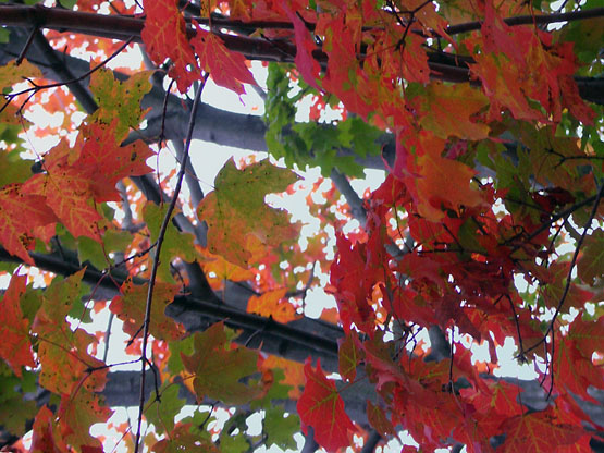 Autumn Foliage at Dusk: ORIGINAL