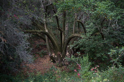 The Octopus Tree. Carmel Valley, CA.