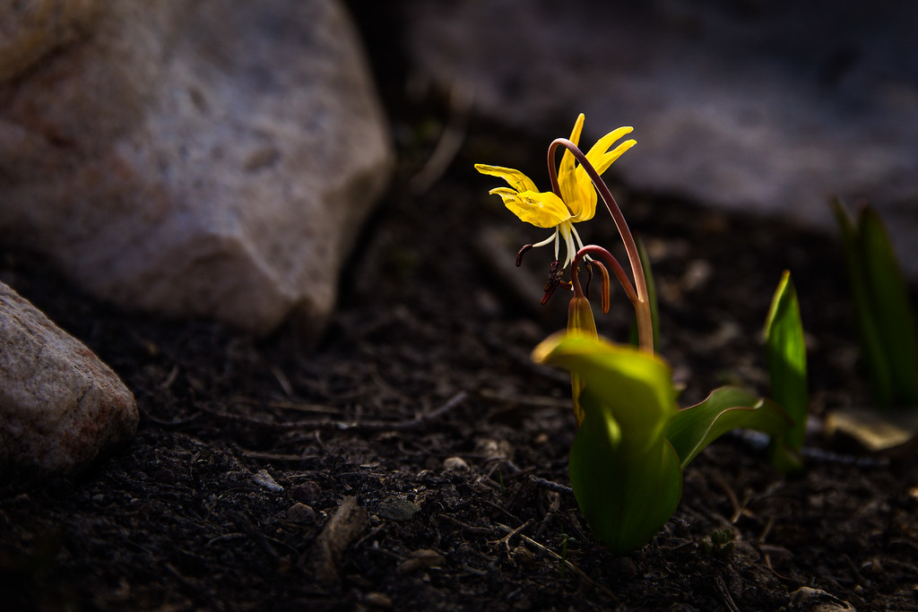 yellow avalanche-lily
