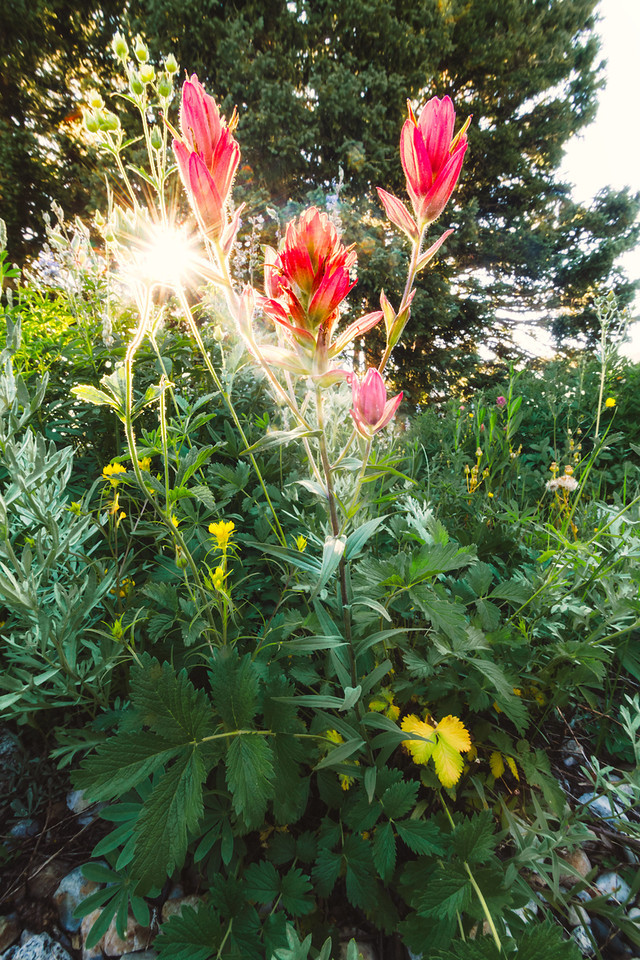 albion basin flowers