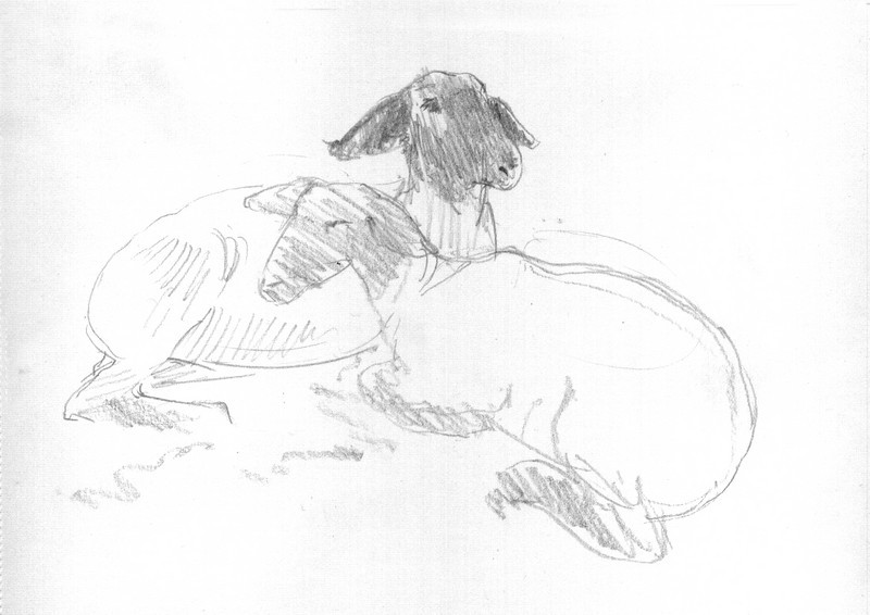 Butler Farm Show - Sheep<br /> <br /> Another quick sketch of a pair of sheep about to take a nap.<br /> <br /> They were such gentle creatures and incredibly soft.<br /> <br /> Medium: Pencil on Paper edit