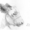 "Butler Farm Show - Shorthorn Cow<br /> <br /> ""Gizmo"" was an adorable cow that was irresistable to sketch. <br /> <br /> There were times during the drawing sessions that I would take the minimal amount of time to capture the animal and othertimes that I intentionally take more time for a detailed picture.  This drawing was a 'quick sketch' taking just a couple of minutes.  It's great practice, to make sure you don't dawdle and overdo the subject.<br /> <br /> There were so many astounding animals at the farm show that it was difficult just passing any of them by.<br /> <br /> Medium: Pencil on Paper"