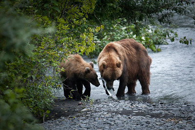 Mama bear and cub fishing for salmon near Valdez, Alaska.
