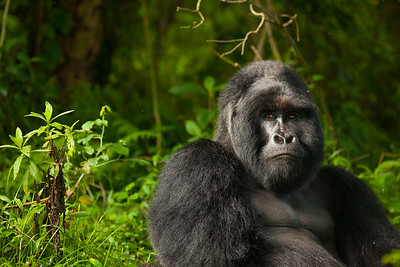 Silverback Mountain Gorilla in the Mugahina National Park in Uganda.