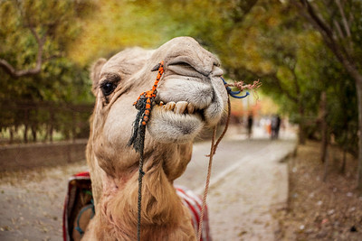 Camel in Agra, India