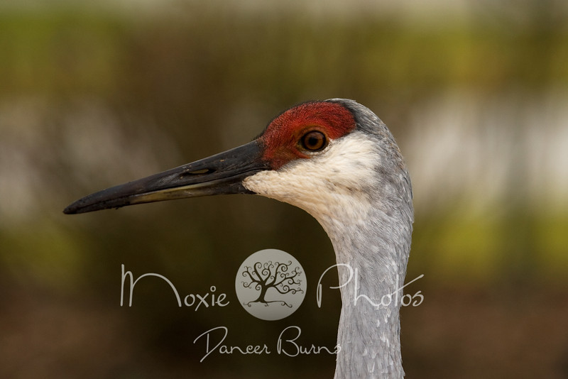 Sandhill Crane - Titusville, Florida