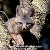 A Fox In A Tree<br /> <br /> When I startled four of these guys this one climbed a tree and posed for me.