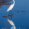 Heron Reflection Great Egret Merritt Island Wildlife Refuge