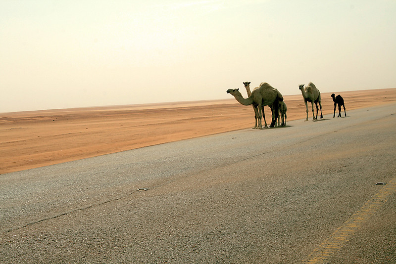 "Camels heading the highway!<br /> To see more, go to:<br />  <a href=""http://www.salehphotography.com/Landscapes/Dunes"">http://www.salehphotography.com/Landscapes/Dunes</a>"