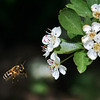"""To see more bees and flowers, go to:<br />  <a href=""""http://www.salehphotography.com/Animals/Flora"""">http://www.salehphotography.com/Animals/Flora</a>"""