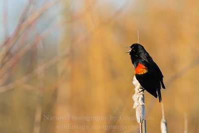 Territorial Display of a Male Red-winged Blackbird