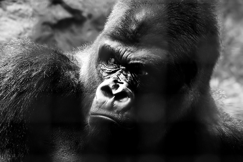 "This picture is from the ""Animals in Captivity"" album:<br />  <a href=""http://www.salehphotography.com/Animals/Animals-in-Captivity"">http://www.salehphotography.com/Animals/Animals-in-Captivity</a>"