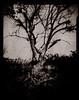 Peigen Tree