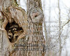 02-19-2012-villiard_road-raccoon-0085-8x10-4