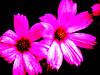 double pink flowers
