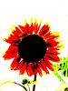 bright orange sunflower