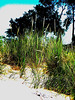 Tiscornia Beach grass