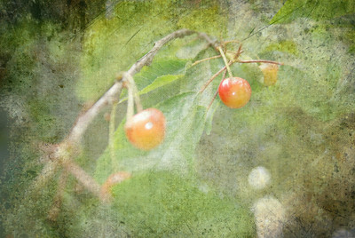 Cherries For The Pickin'