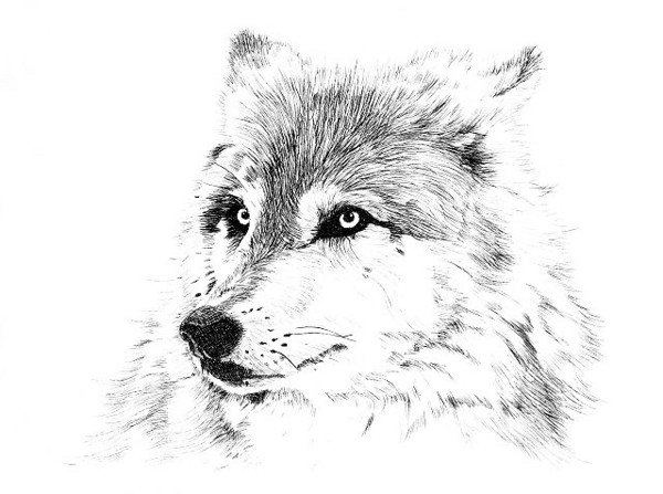 "Gray Wolf Portrait<br /> Dry-point on acrylic plexi-glass, printed on Arches ""Cover"" paper using an etching press"