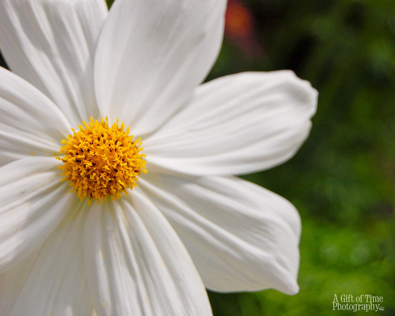small daisy 8x10