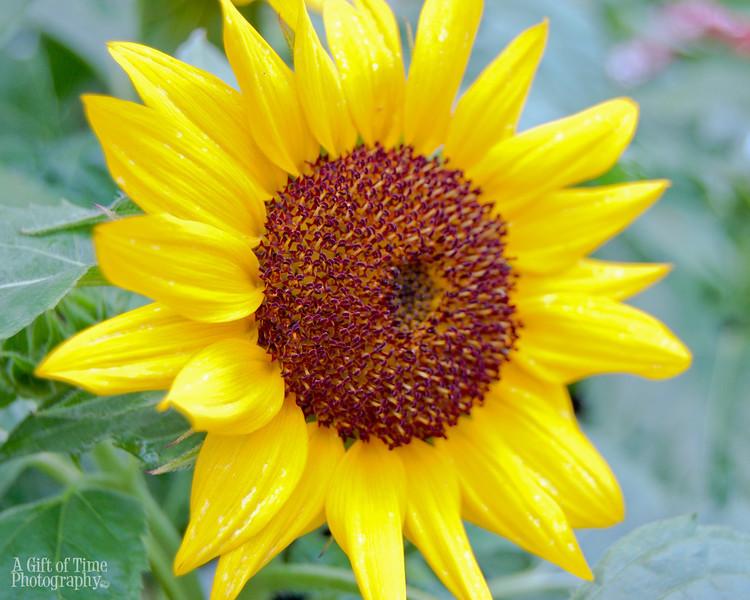 sunflower 8x10