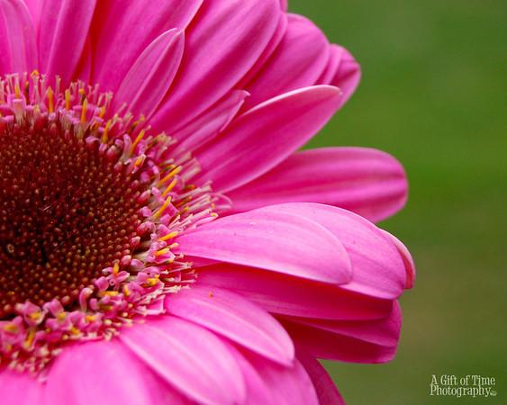 Pink daisy 8x10