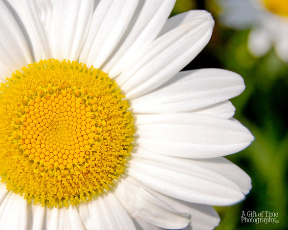 Daisy 8x10