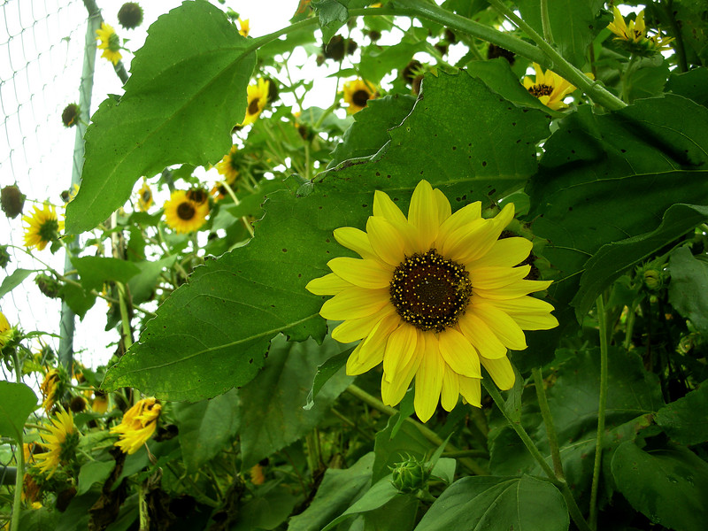 Island Park, Sunflowers, Photo by Kathy Leistner, 2007