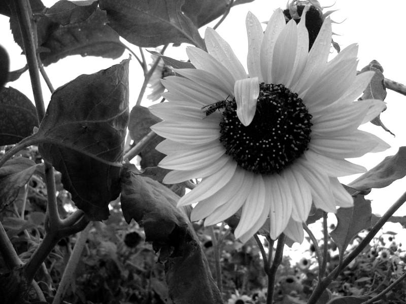2007-08-22 205_IslandParkSunflowerBeebw