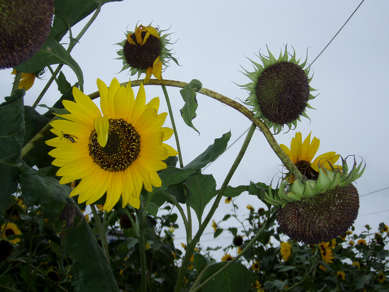 Island Park, Sunflower. Photo by Kathy Leistner