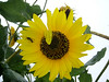 Bee on Sunflower. Island Park. Photo by Kathy Leistner