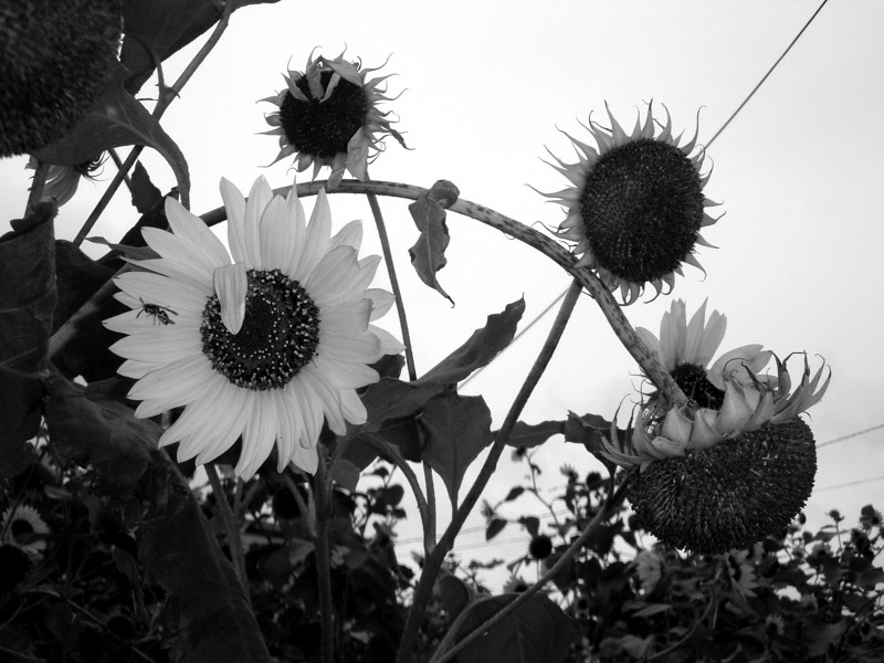 Island Park, Sunflower. Photo by Kathy Leistner