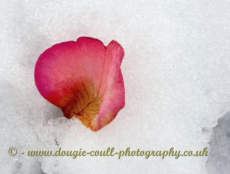 Petal in Snow