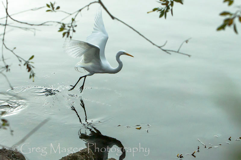 Great egret with soft natural framing
