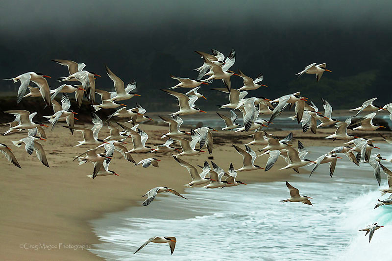 Terns at Carmel River Beach