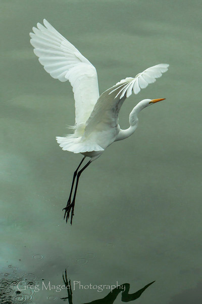Egret fligh with soft light