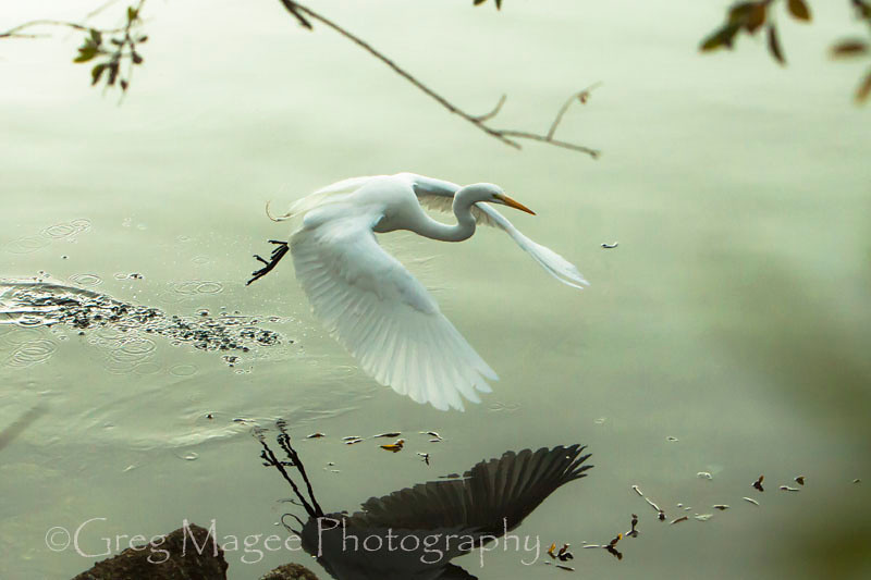 Egret lifting off from mirrored water